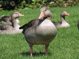 goose-168560_640